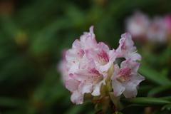 石楠花・19_3