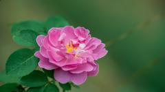 秋薔薇_1