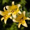 梅雨の花・12