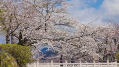 一ノ坂川の桜・12