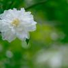 山茶花_2