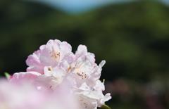 石楠花・1_1