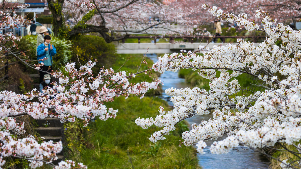 一ノ坂川の桜・1