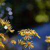 石蕗の花_1
