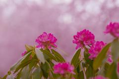 石楠花・19_2