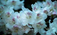 石楠花・1