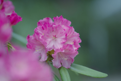 石楠花・19_4