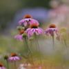 梅雨の花・6