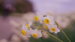水仙・31_18