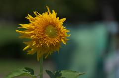 向日葵5_1