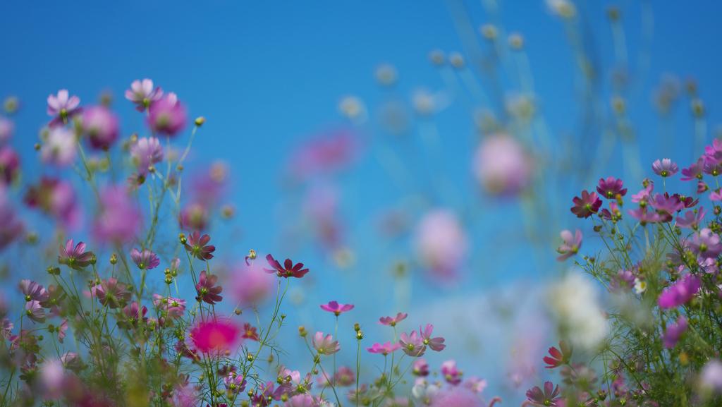 秋 桜・1_8