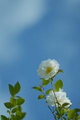 山茶花_30_30