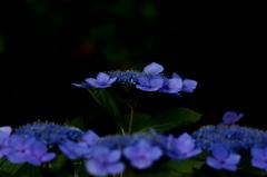 小学六年生7月 紫陽花