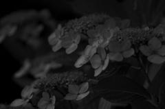 小学六年生7月 紫陽花 モノクローム