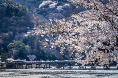 桜の季節がやってきた8