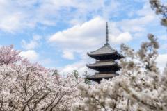 桜の花が散る前に1