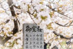 桜の花が散る前に2