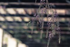 藤の花 そのに。