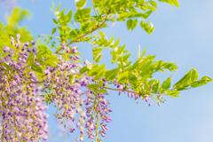 藤の花 そのいち。