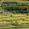 棚田の秋 ~収穫~