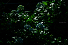 紫陽花 ~暗~