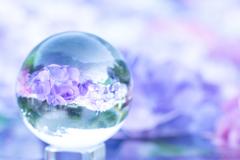 紫陽花 ~明~