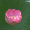 蓮姫のお目覚め