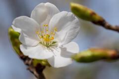 春のお散歩~桜~