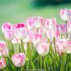 チューリップの花2