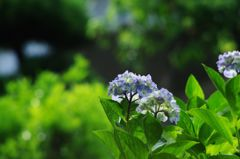 オールドレンズと紫陽花