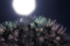 月夜の綿毛林