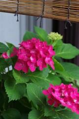 軒下の紫陽花