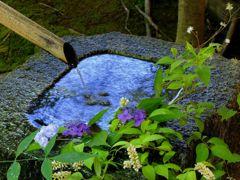 手水に紫陽花を添えて