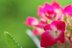 紫陽花の呟き
