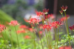狂い咲き狂い撮り @浜松市天竜区 玖延寺 3