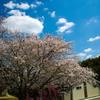 今年の桜もこれで打ち止め(予定)