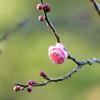 初撮り 早咲きの梅