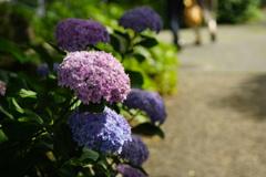 道端に咲く紫陽花