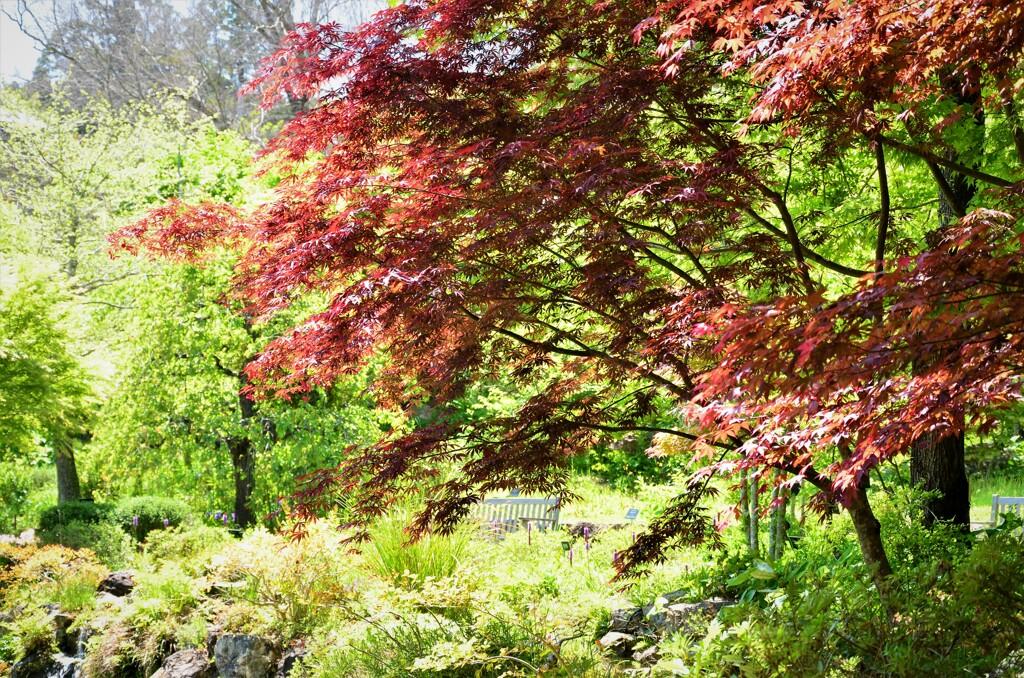 春の紅葉 Ⅱ