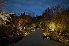 桜の宵 ライトアップ