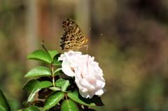 ツマグロヒョウモンと薔薇