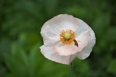 ポピーと蜜蜂 3