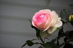 桃のような薔薇