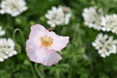 ポピーと蜜蜂 2