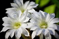 今朝咲きました サボテンの花