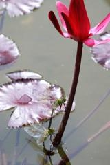 赤い睡蓮と蜻蛉