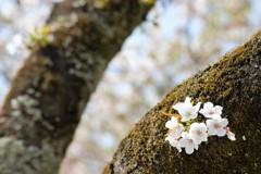 花見桜 Ⅱ