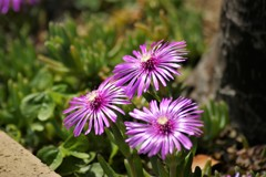 ご近所さんの庭に咲いてる花 2