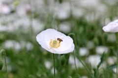 ポピーと蜜蜂 1