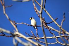 野鳥撮りに行ってきました(イカル)